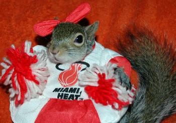 Sugar Bush Squirrel Miami Heat Dancer