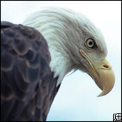 A Fierce Eagle
