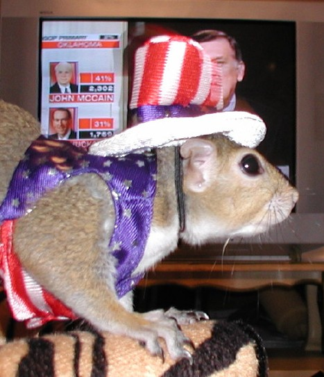 Independent Presidential Candidate Sugar Bush Squirrel closely watches voting results on Super Tuesday