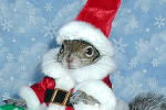 Sugar Bush Squirrel in Santa Suit