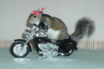 Sugar Bush Squirrel on New Motorcycle