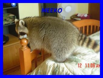 Meeko the Raccoon